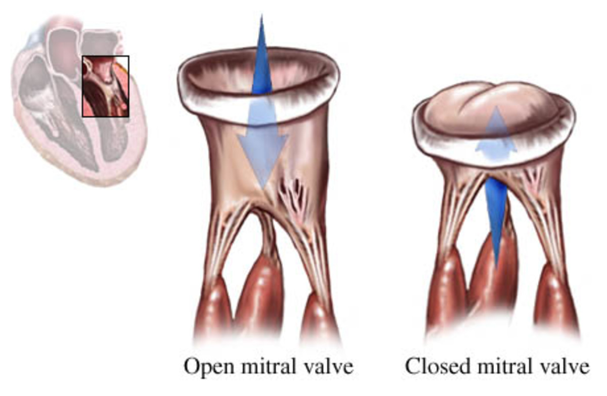 The mitral valve is responsible for letting blood flow into the Left Ventricle and close after the pressure from the Left ventricle shuts it