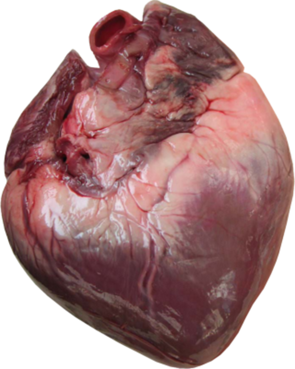 The anatomy of the heart begins on the outside, but the details on the inside are a grand design.