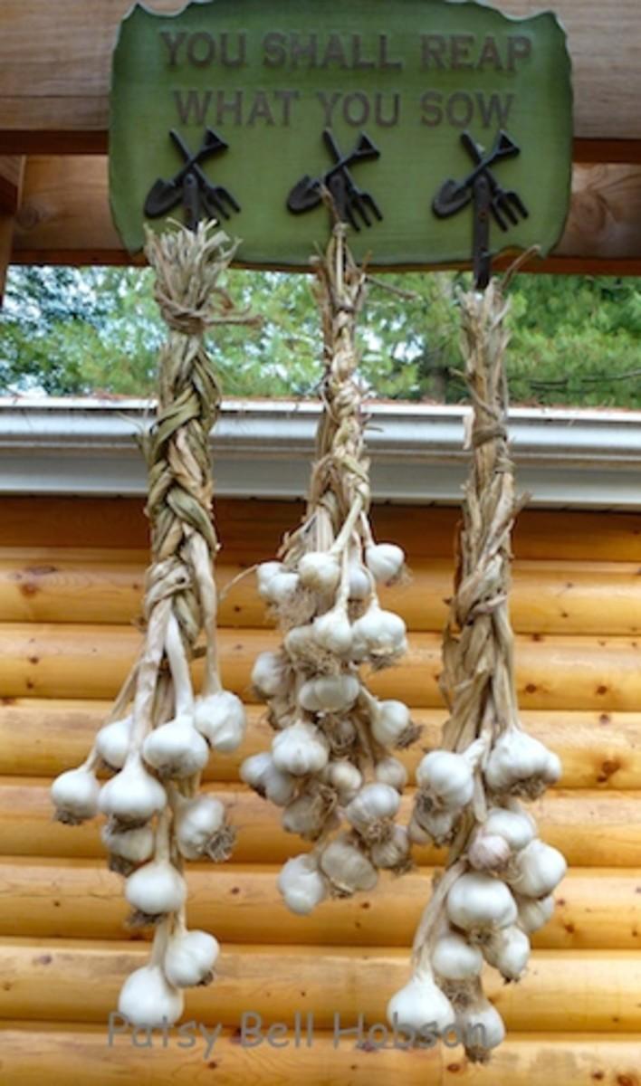 Treat garlic gently. Not bruising garlic heads will encourage longevity.
