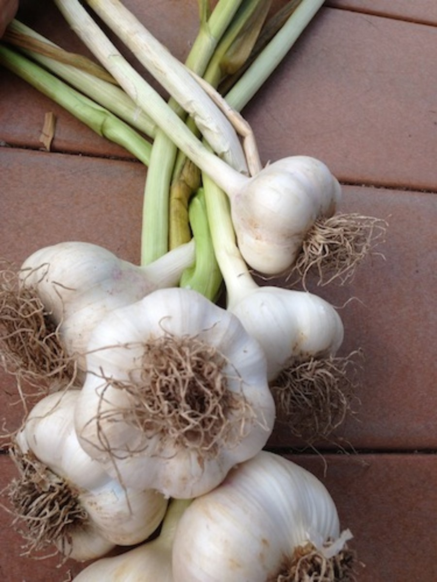 After lightly cleaning, trim roots, leaving 1/4 inch. Continue to cure garlic for at least two more weeks.