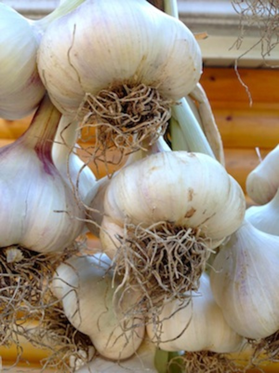 Select your very biggest garlic bulbs to plant. Don't worry about the cold, garlic will be fine this winter.