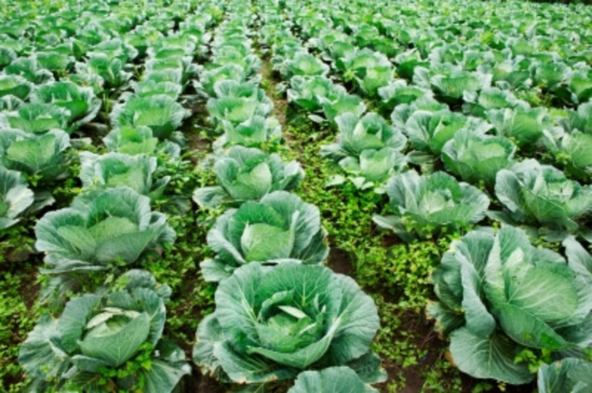The Health Benefits Of Green Kale - The Leafy Vegetable