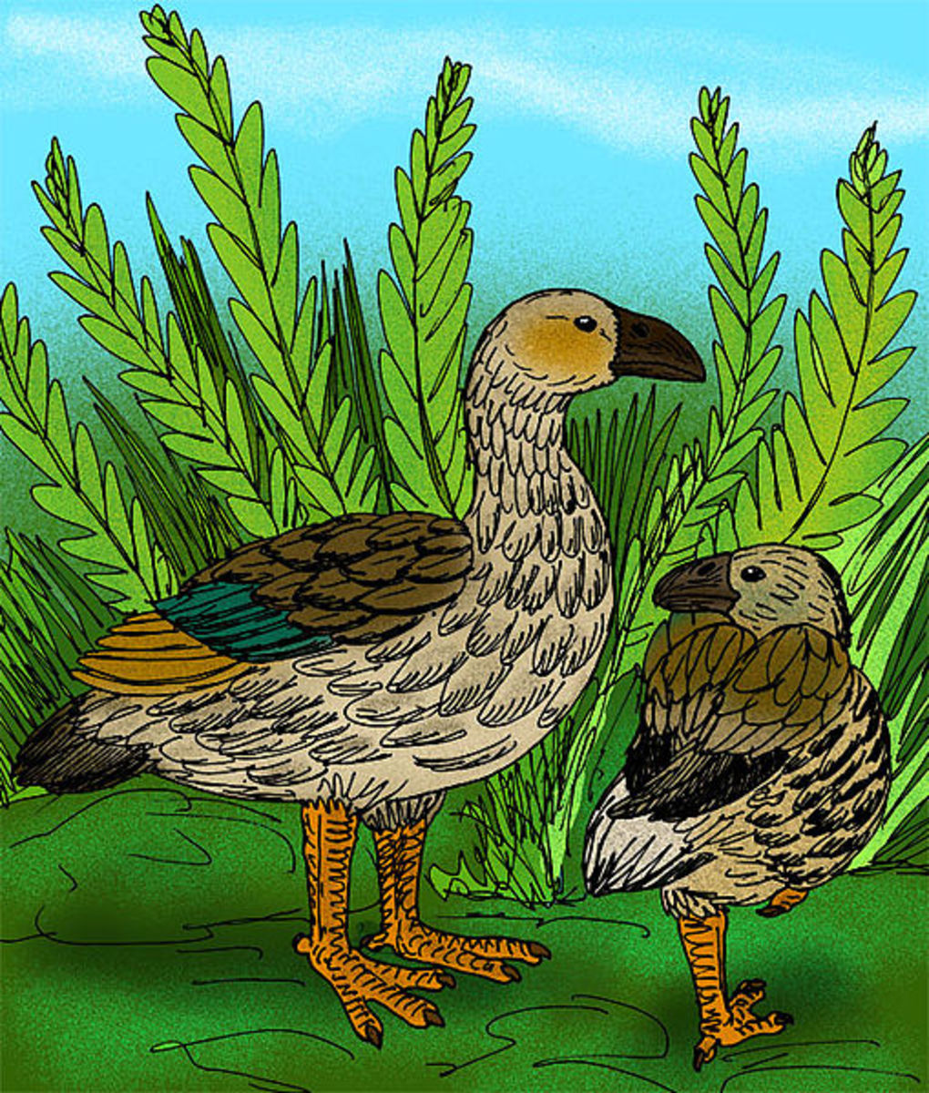 An artistic reconstruction of the Moa Nalo- the largest goose to have lived on the islands, and another descendant of the stranded Canada geese.