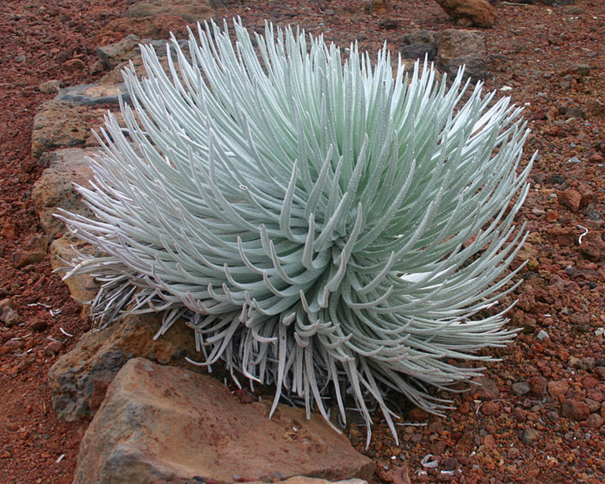 An endemic Hawaiian plant called Silversword near the summit of the Haleakala mountain.