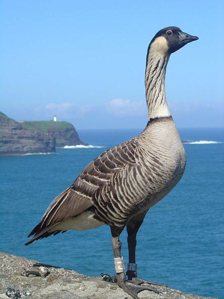 The Hawaiian goose or nene is the last surviving species of endemic goose on the island. They evolved from a flock of Canada geese that became stranded on the island some 500,000 years ago.