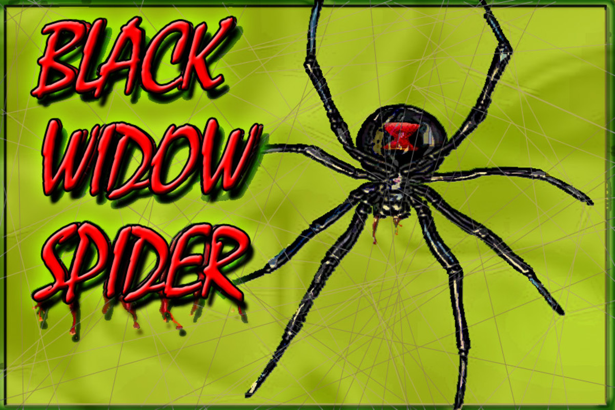 How To Kill Black Widow Spiders
