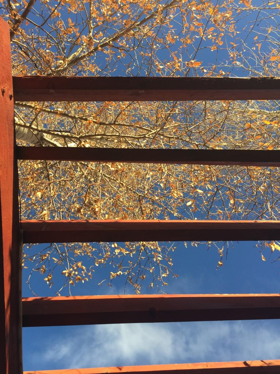 Colorado Cottonwood tree leaves in October