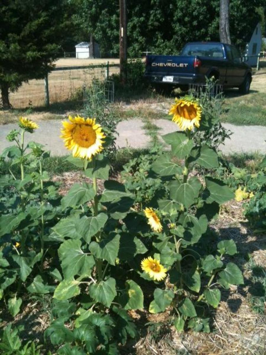 Black oil sunflowers in the chicken garden.
