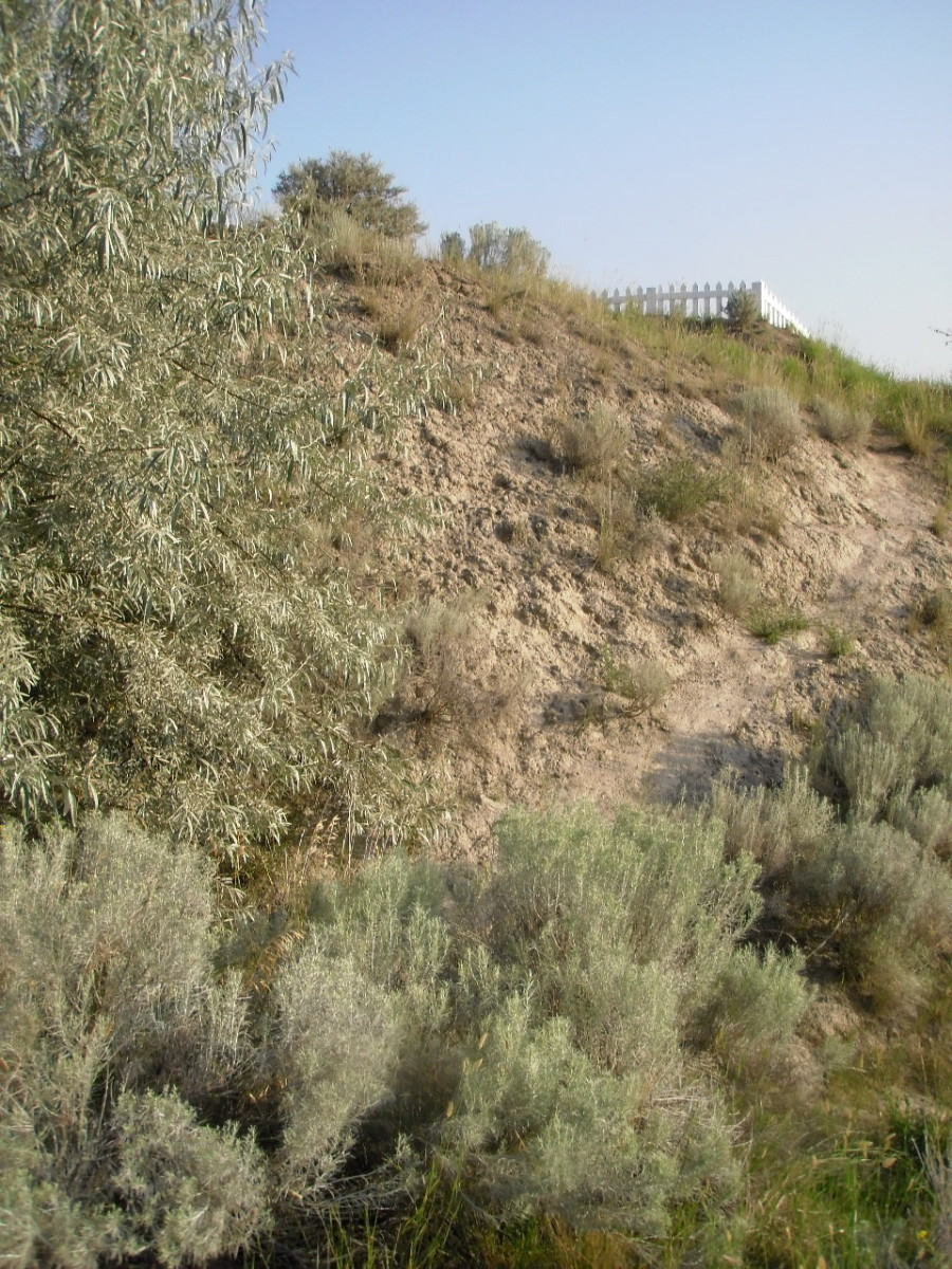 Silver sage, Russian olive, dusty pathway, and the fence of the Chinese cemetery in Kamloops.