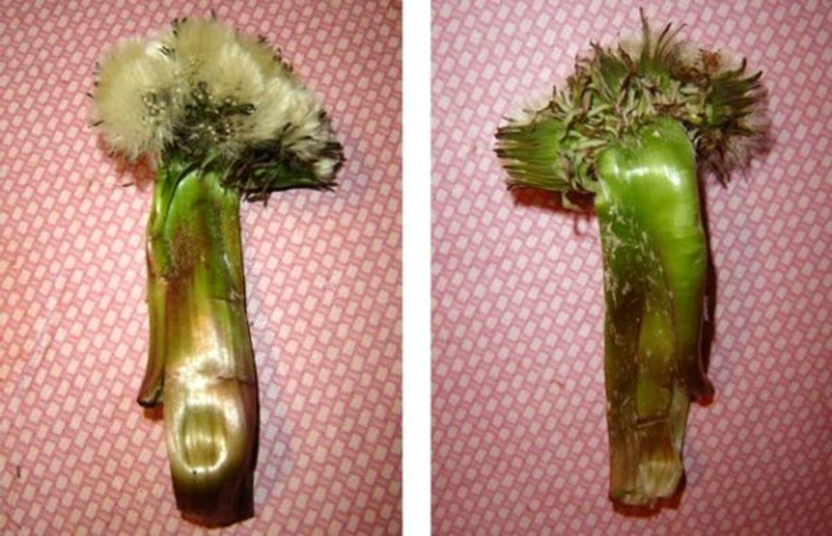 my-mutant-dandelions