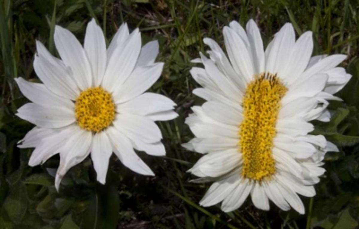 Fasciated Flower (White Mule's Ear)