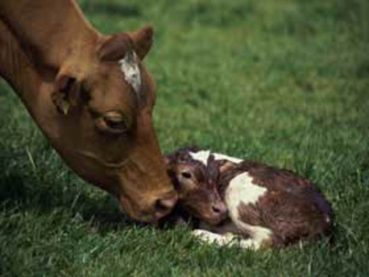The cow cleans the calf with its tongue after giving birth...