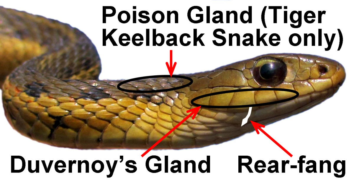 An Eastern Garter Snake (Thamnophis sirtalis sirtalis), illustrating the Duvernoy's (venom) gland, the location of the rear-fangs (size is exaggerated), and the poison (nuchal) gland on the back of the neck in its cousin, the Tiger Keelback Snake