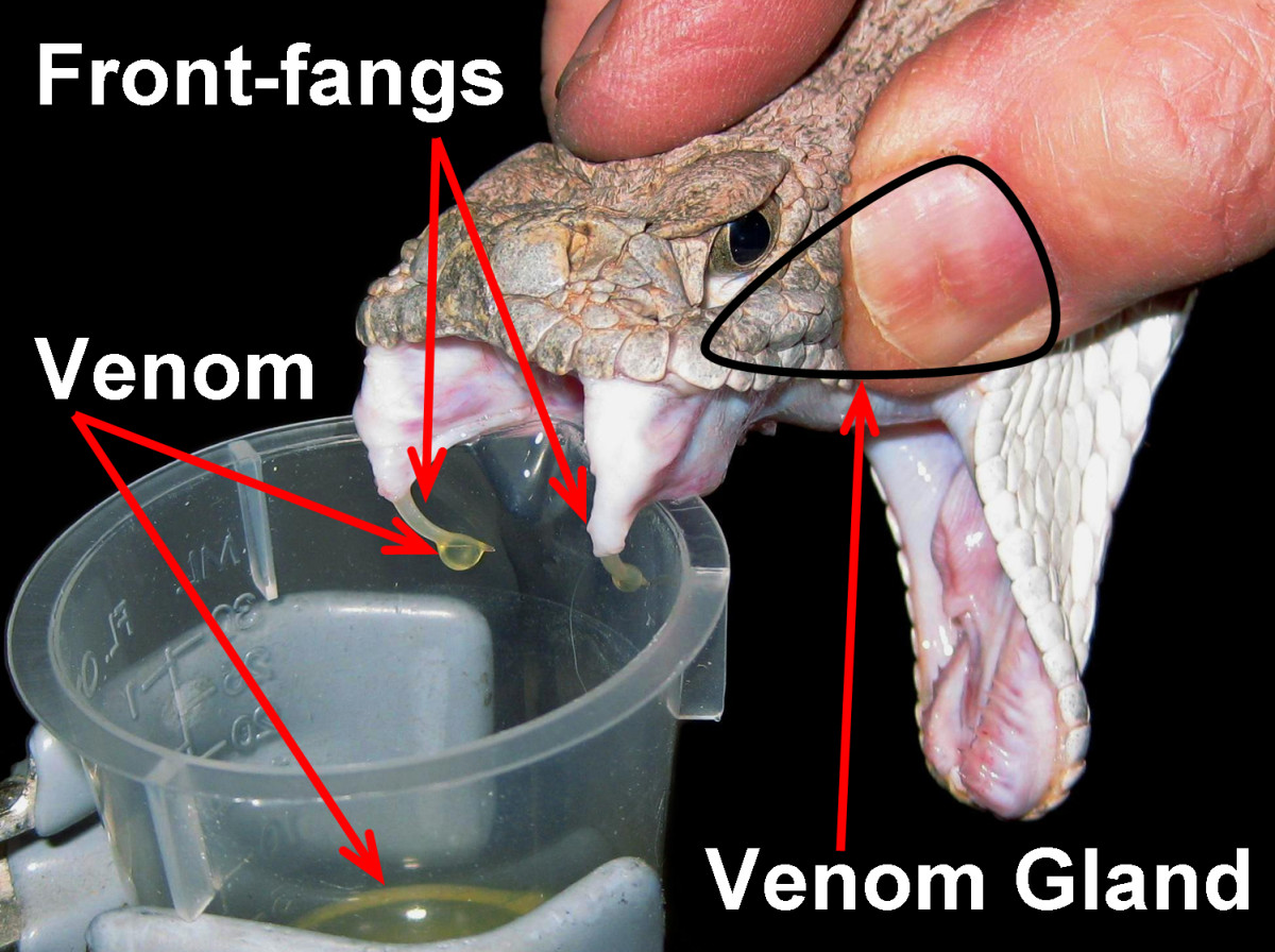A Western Diamondback Rattlesnake (Crotalus atrox) having its venom extracted into a plastic beaker, emphasizing the front-fangs, venom, and venom gland (which is having pressure applied to it to aid venom extraction).
