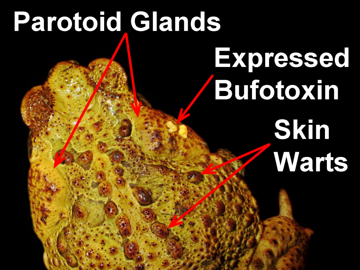 A Cane Toad (Bufo marinus), showing the areas on the body that specifically store and secrete Bufotoxin: the Parotoid glands and the warts on the surface of the skin.  Some Bufotoxin is shown being expressed from the right Parotoid gland.