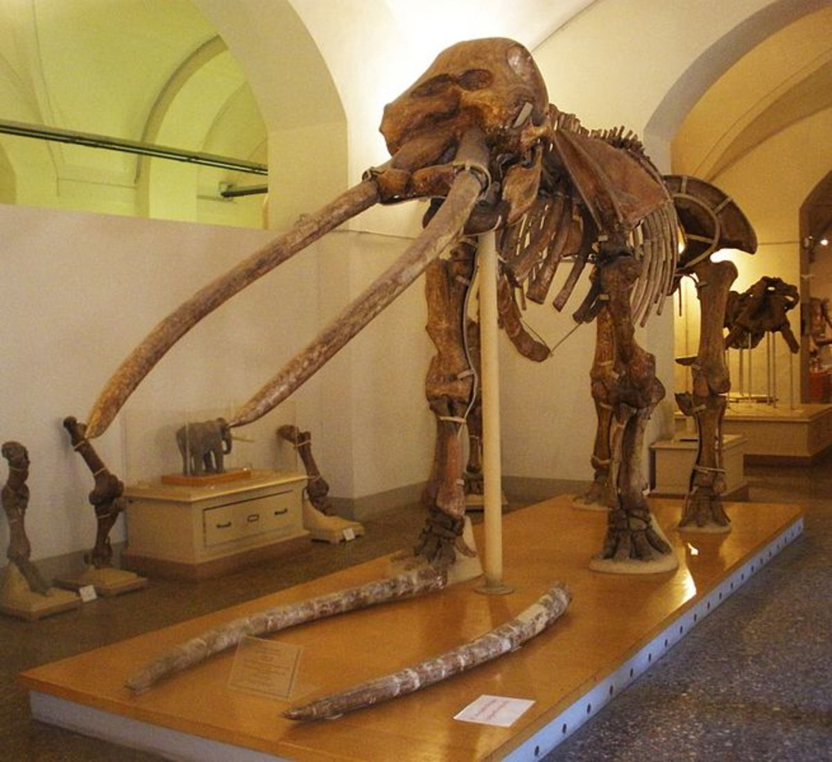 A skeleton of Anancus- note the extraordinary length of  the tusks.