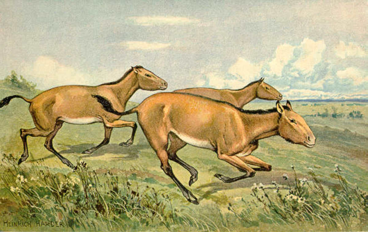 A depiction of the three toed horse (Hipparion) the two extra toes were evolutionary relics of a time when horses actually had three fully functional toes.