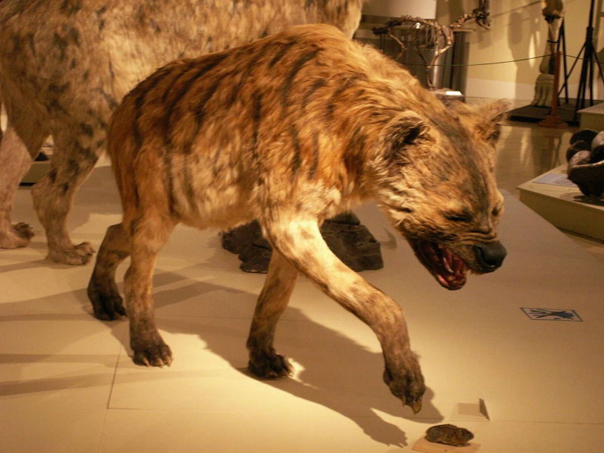The giant or short-faced hyena (Pachycrocuta) followed humans and walked out of Africa some 2 million years ago.