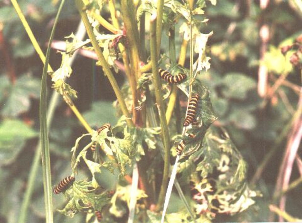 Cinnabar Moth caterpillars. Photo: Steve Andrews