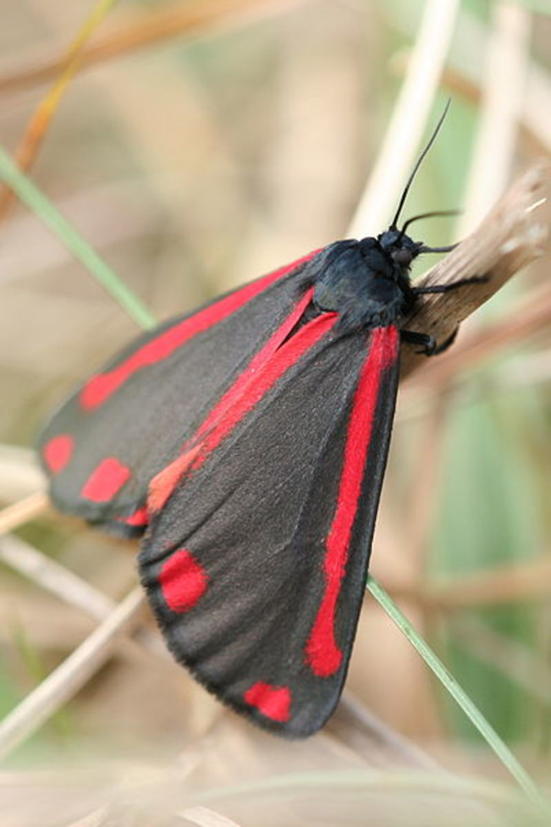 Cinnabar Moth. Photo by Svdmolen