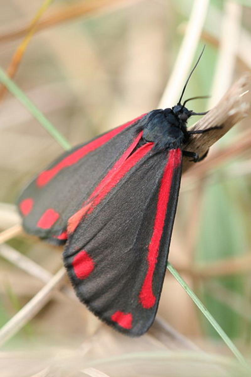Cinnabar Moth. Photo by Svdmolen