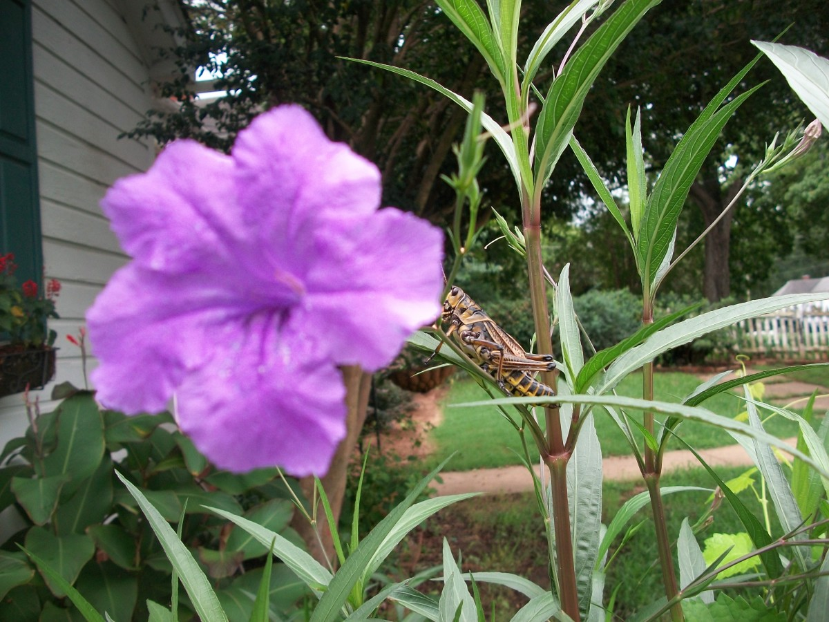A locust enjoys the sun on top of a Mexican petunia branch.