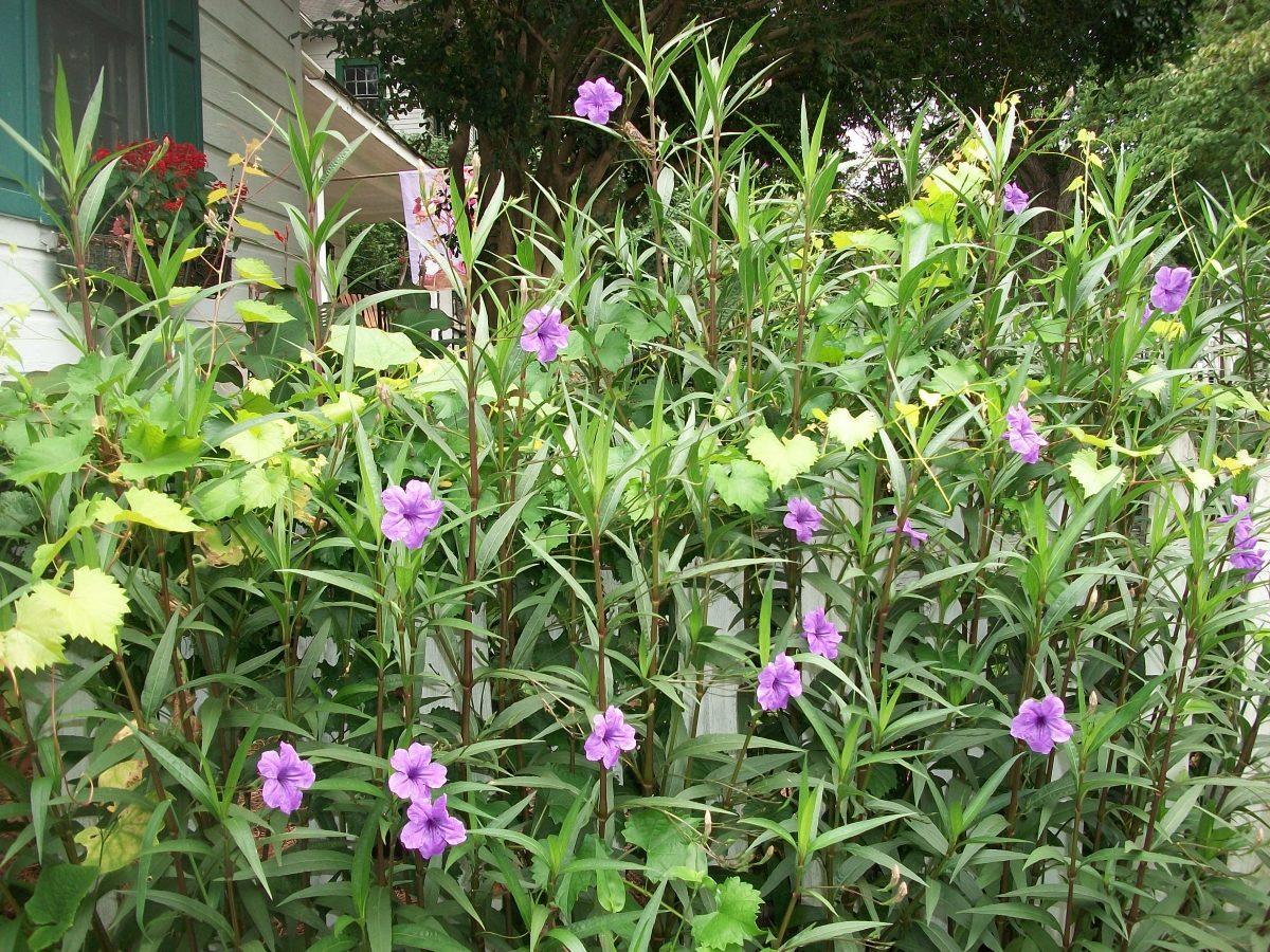 Mexican Petunias in full bloom.