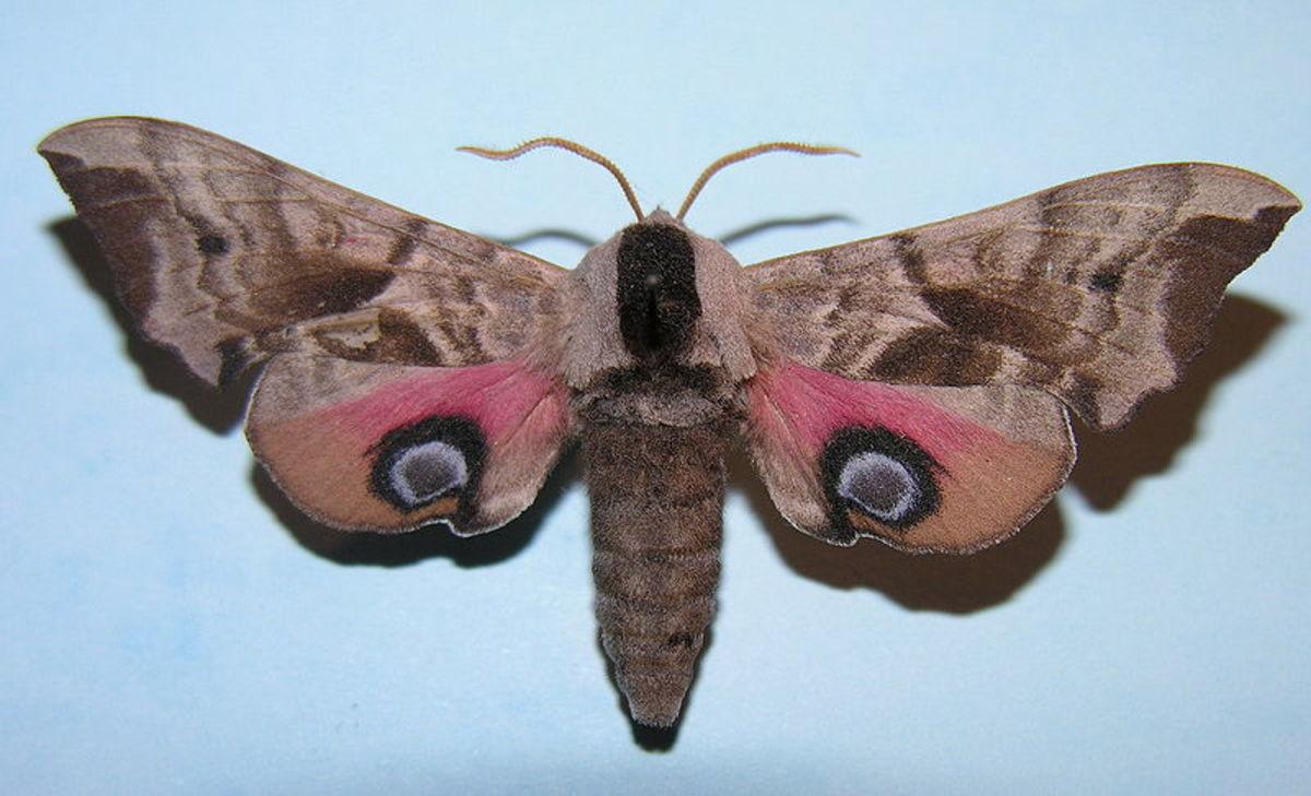 Eyed Hawk Moth in Public Domain