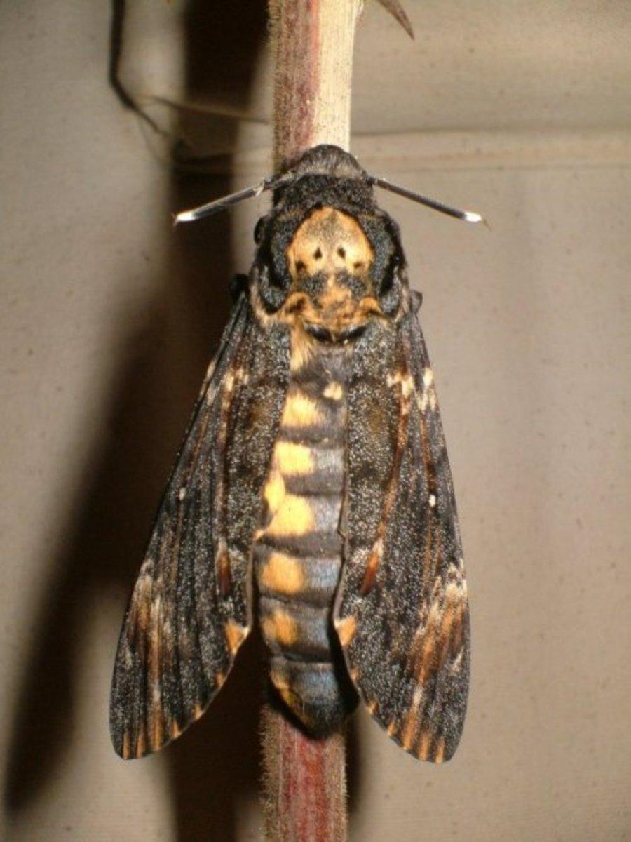 Death's Head Hawk Moth. Photo by Steve Andrews