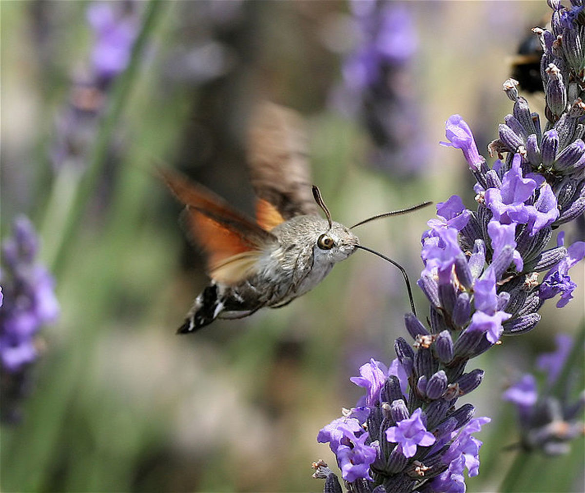 Hummingbird Hawk Moth feeding. Photo by IronChris