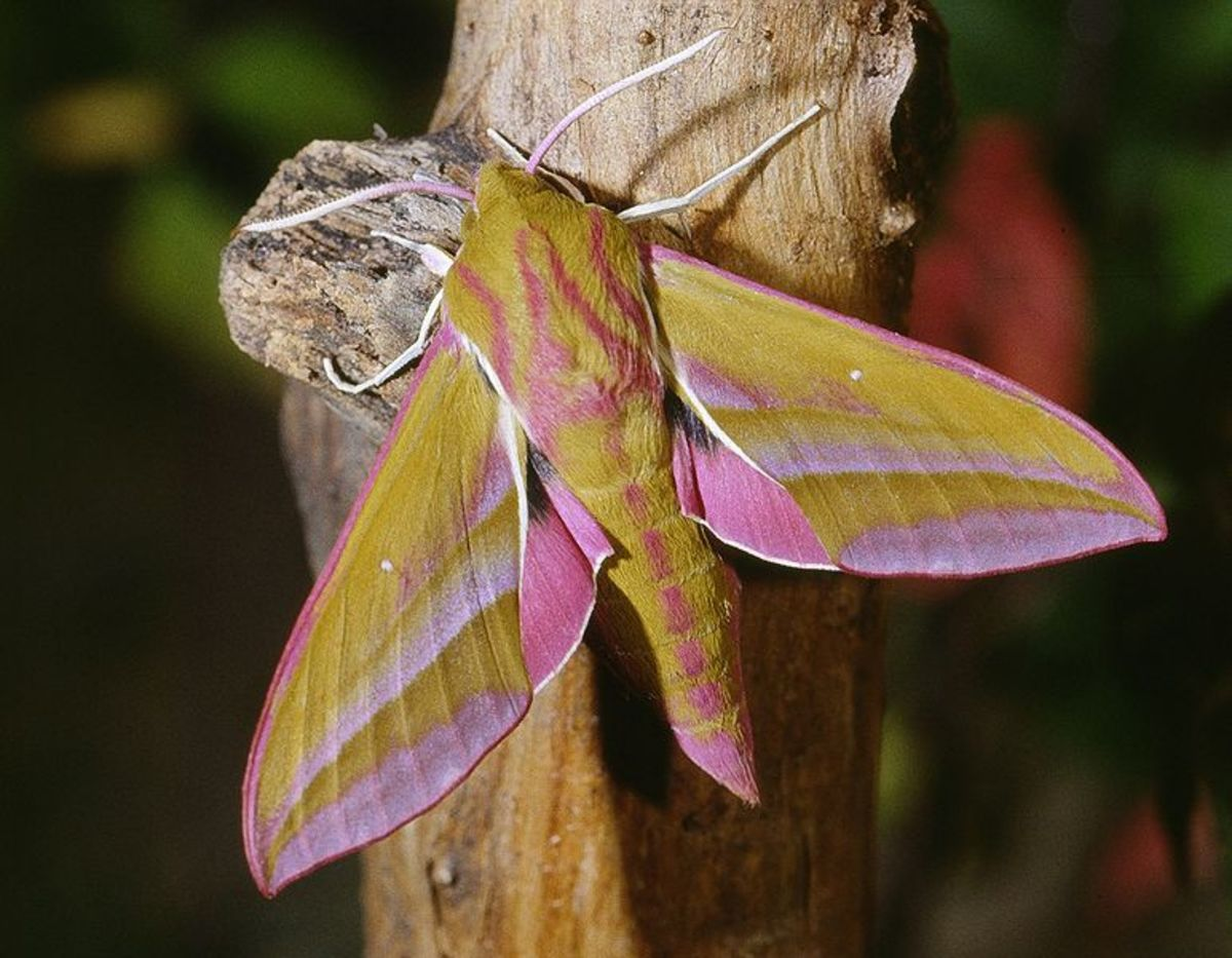 Large Elephant Hawk Moth. Deilephila elpenor photographed in Calvados in France. Photo by Jean Pierre Hamon
