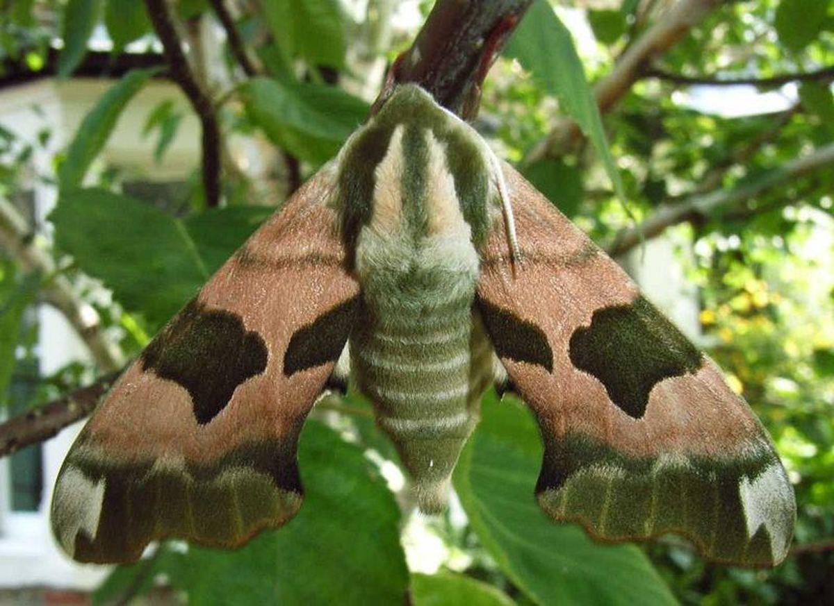 Lime Hawk Moth in Public Domain