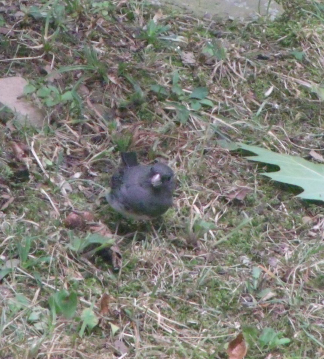 male junco foraging