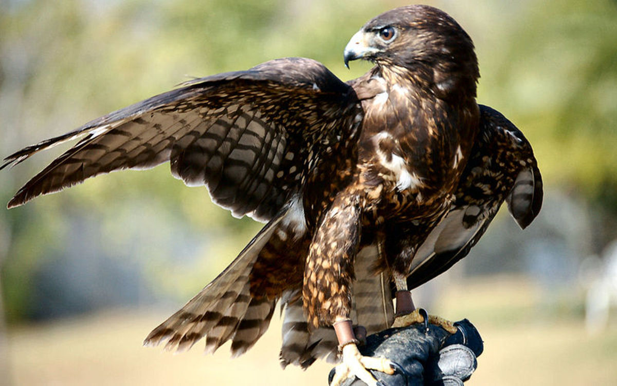 """Short Tailed Hawks are a common sight in the Everglades.  This is a juvenile of the """"dark"""" variety."""