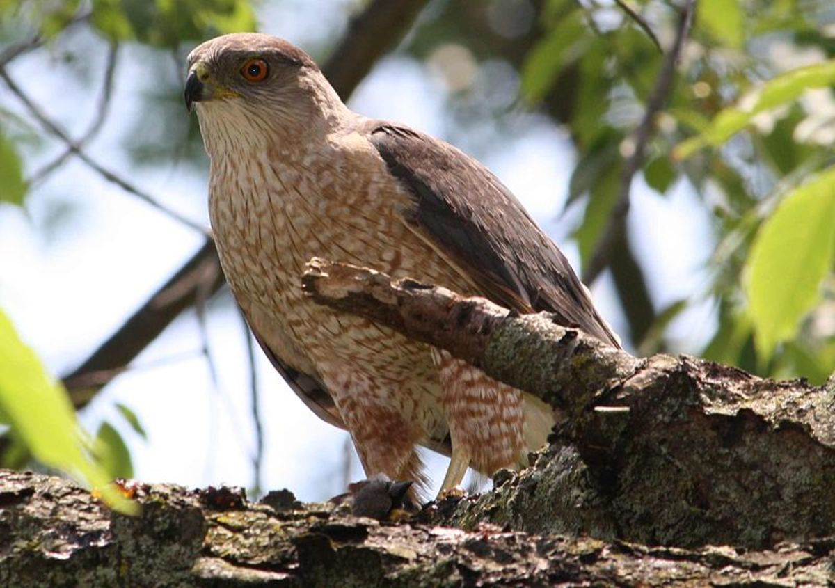 "Coopers Hawks were once threatened because of hunting.  The birds, know as ""chicken hawks"" were considered a nuisance."