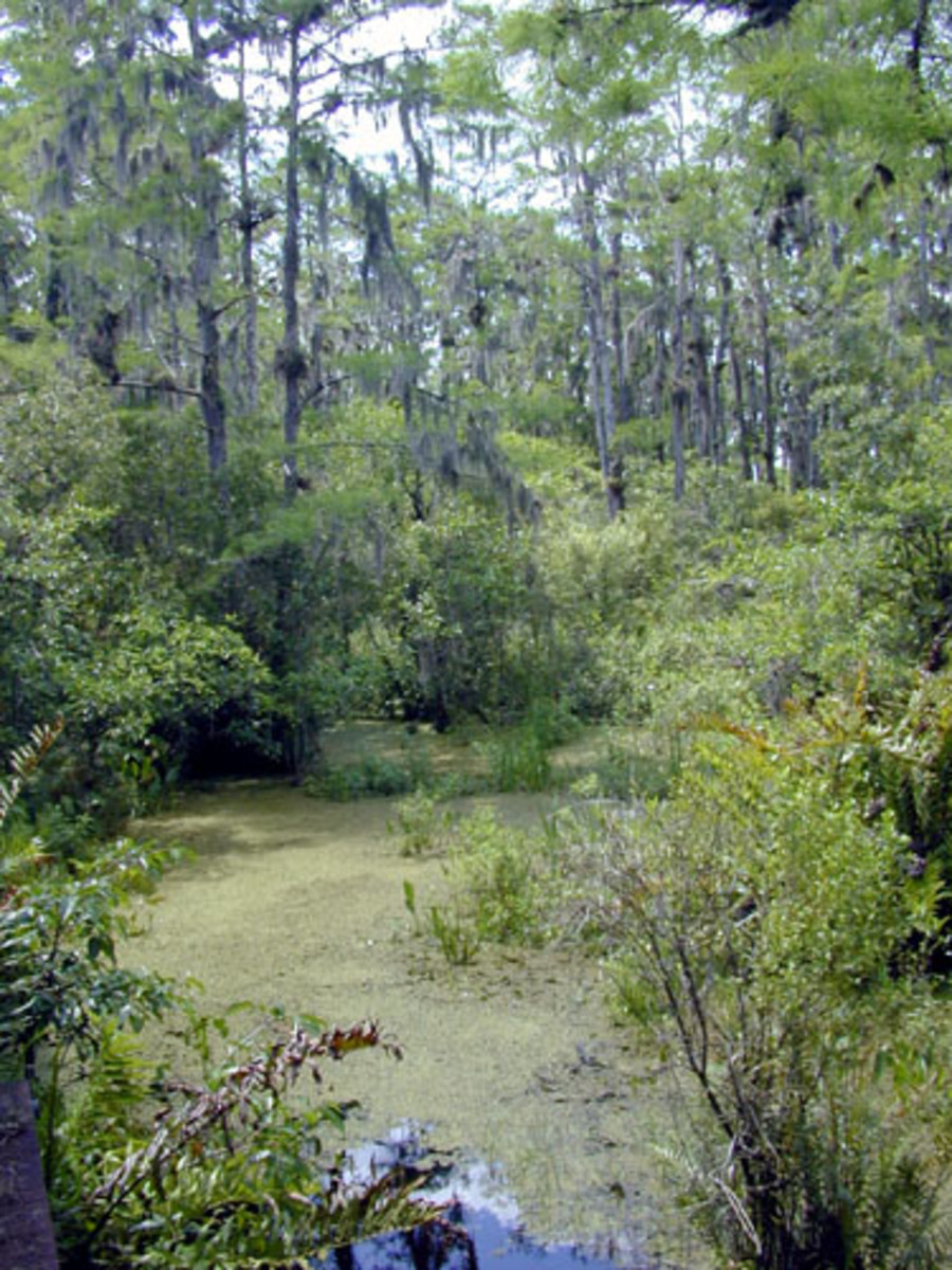 The Everglades are also home to vast cyprus forests.  The trunks and stumps slow the waters movement and provide shelter for fish and other animals.