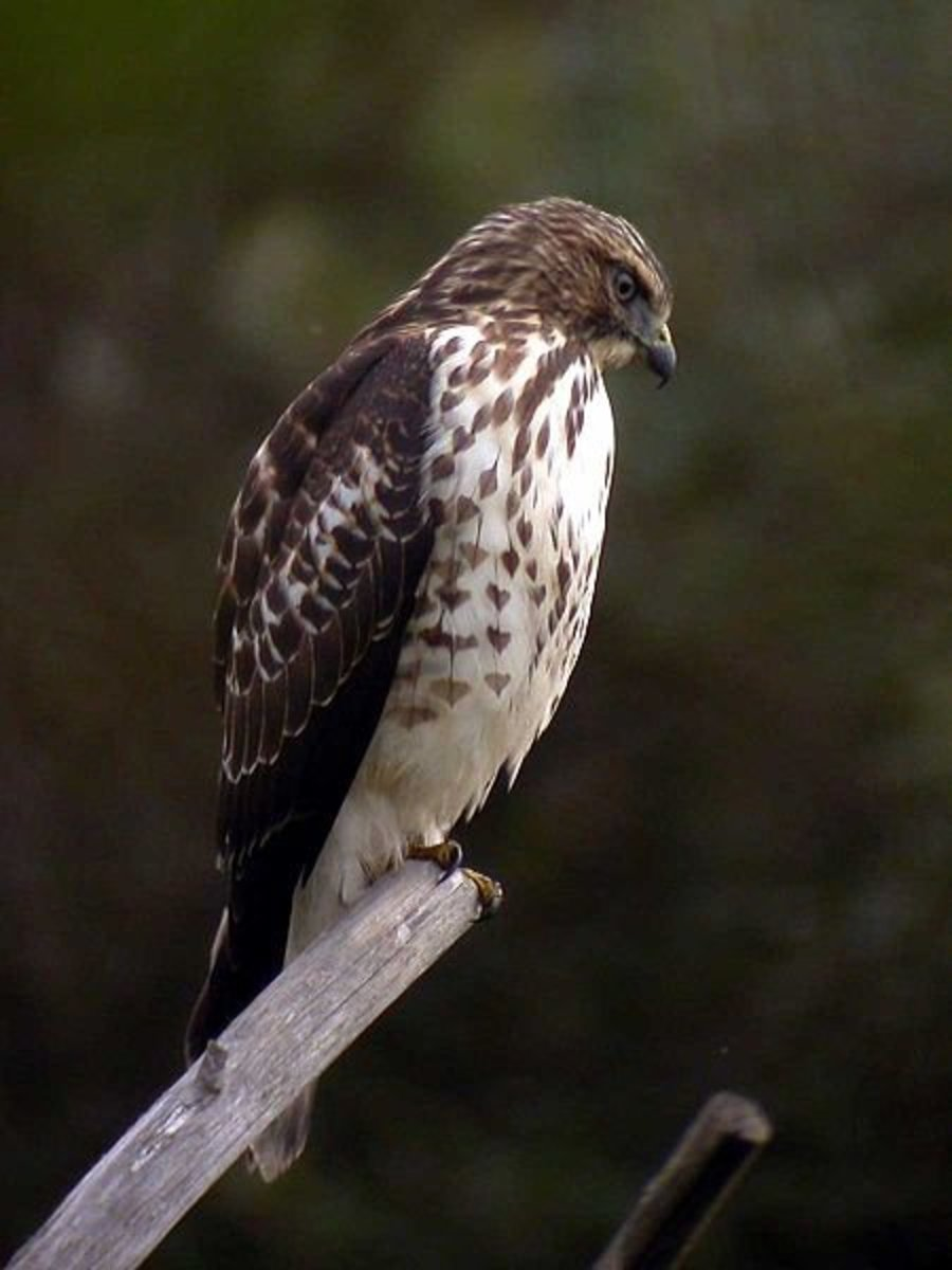 Broad Winged Hawks are a year round resident in the Florida Everglades.