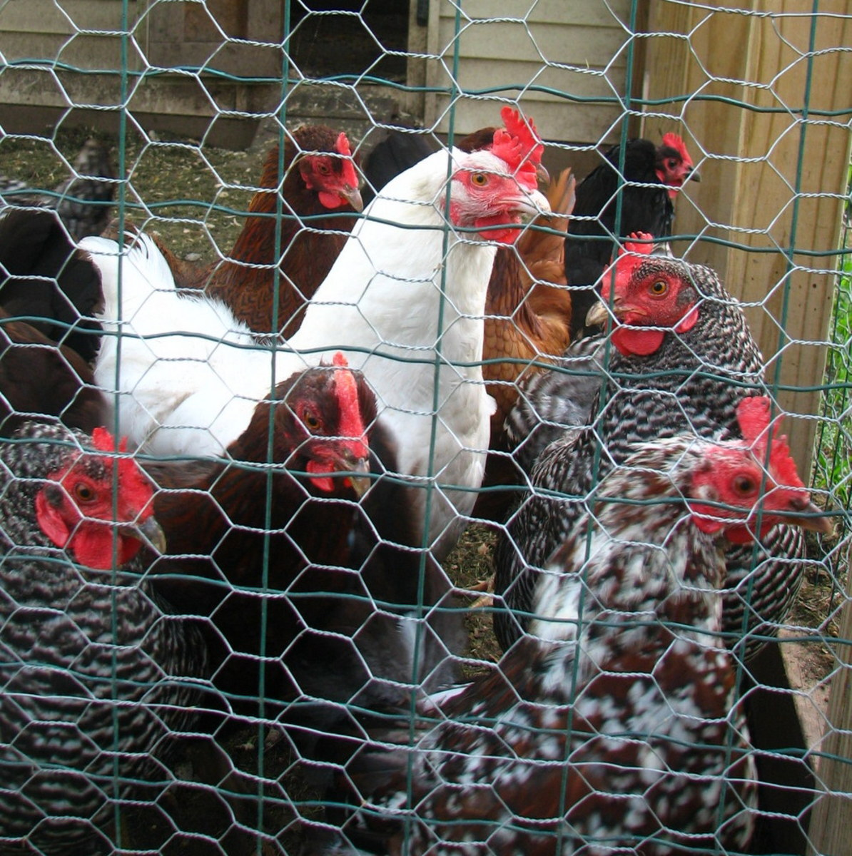 The hens are gathering. They are curious about the photographer.