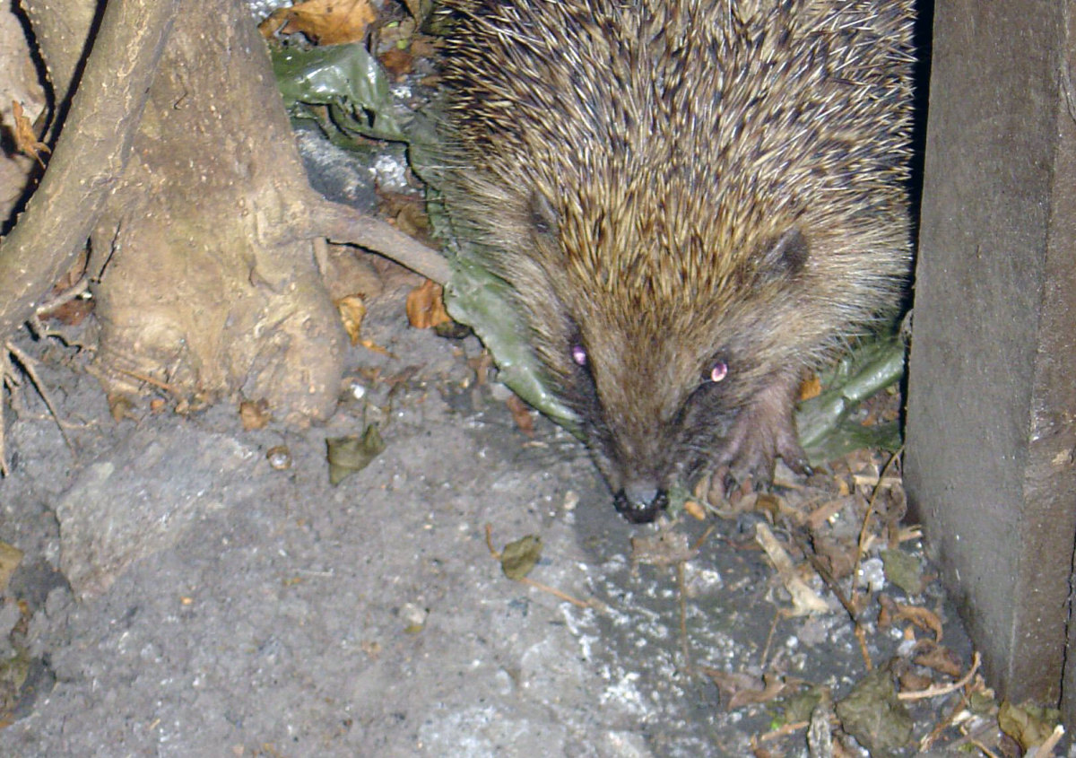Hedgehog visiting garden
