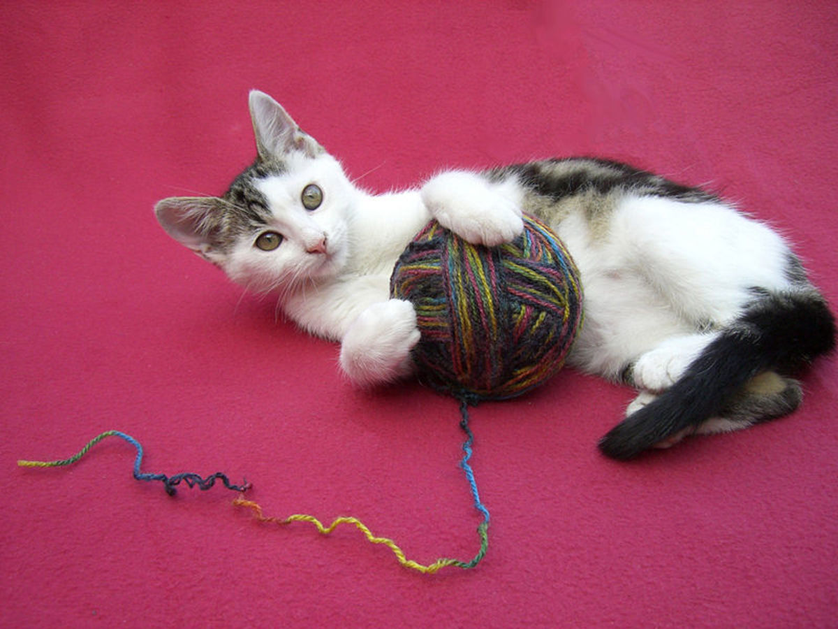 Can you teach a cat to knit purrfectly?
