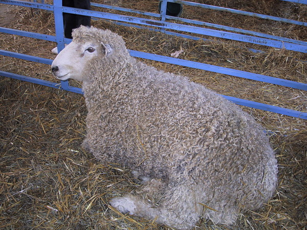 Sheep are usually sheared for their wool once a year in early spring or early summer.