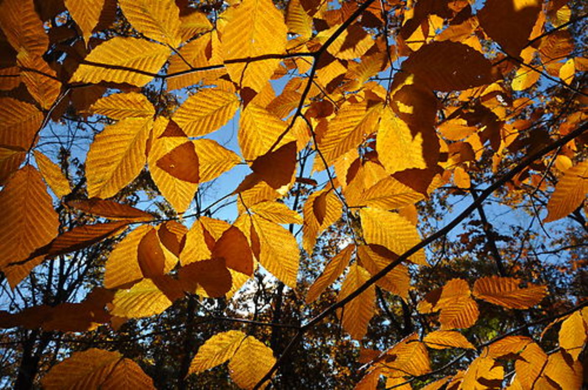 American Beech, often seen in Illinois.