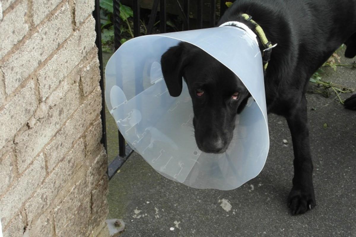 Bucket collar on a dog