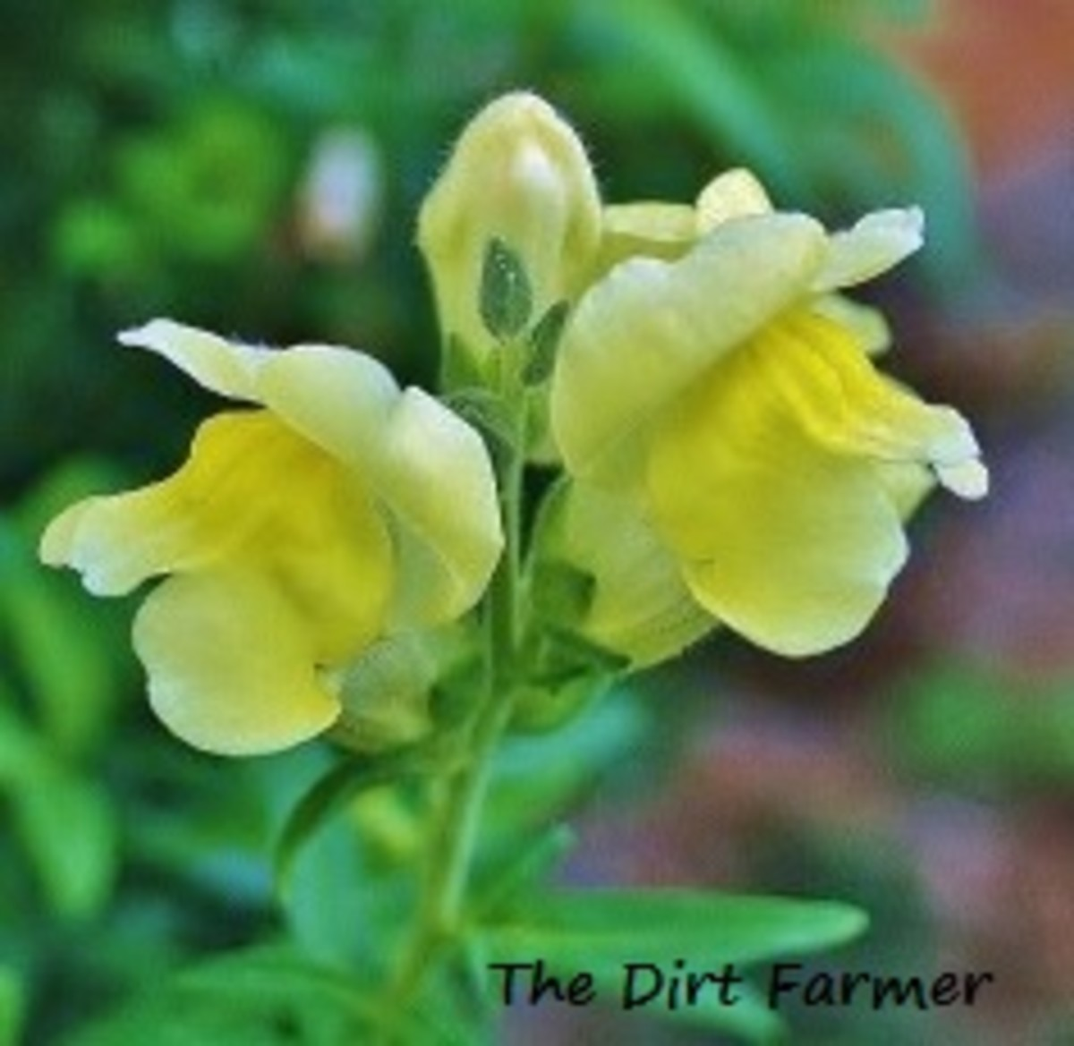 'Lemon Sherbet' Snapdragon grows up to 3 feet.
