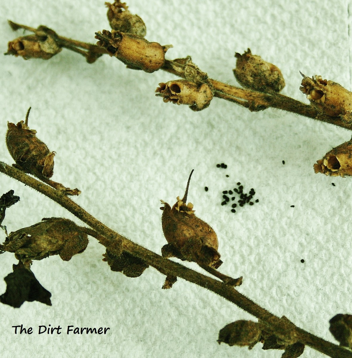 Snapdragon seeds are very small.
