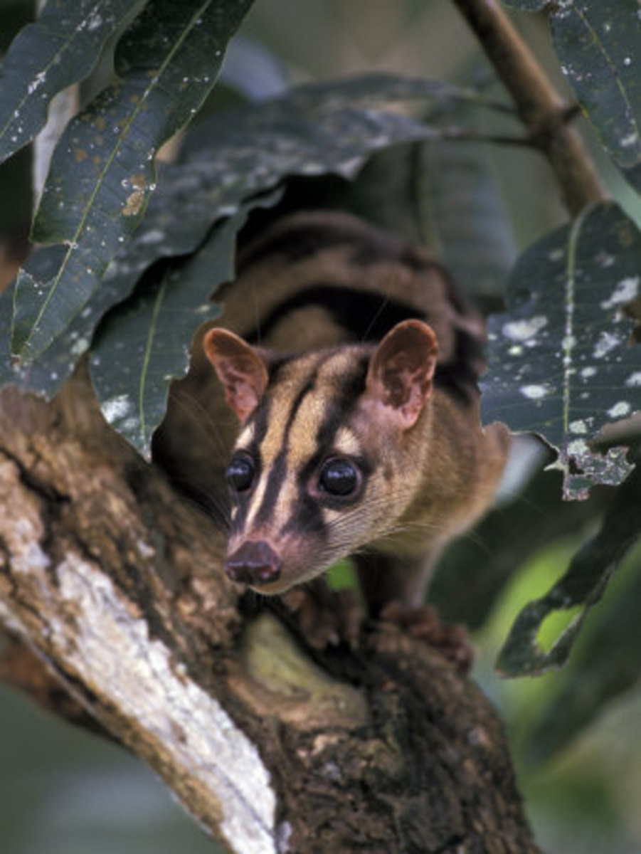 Though typically ground dwellers, banded palm civets will not hesitate to explore trees as well.