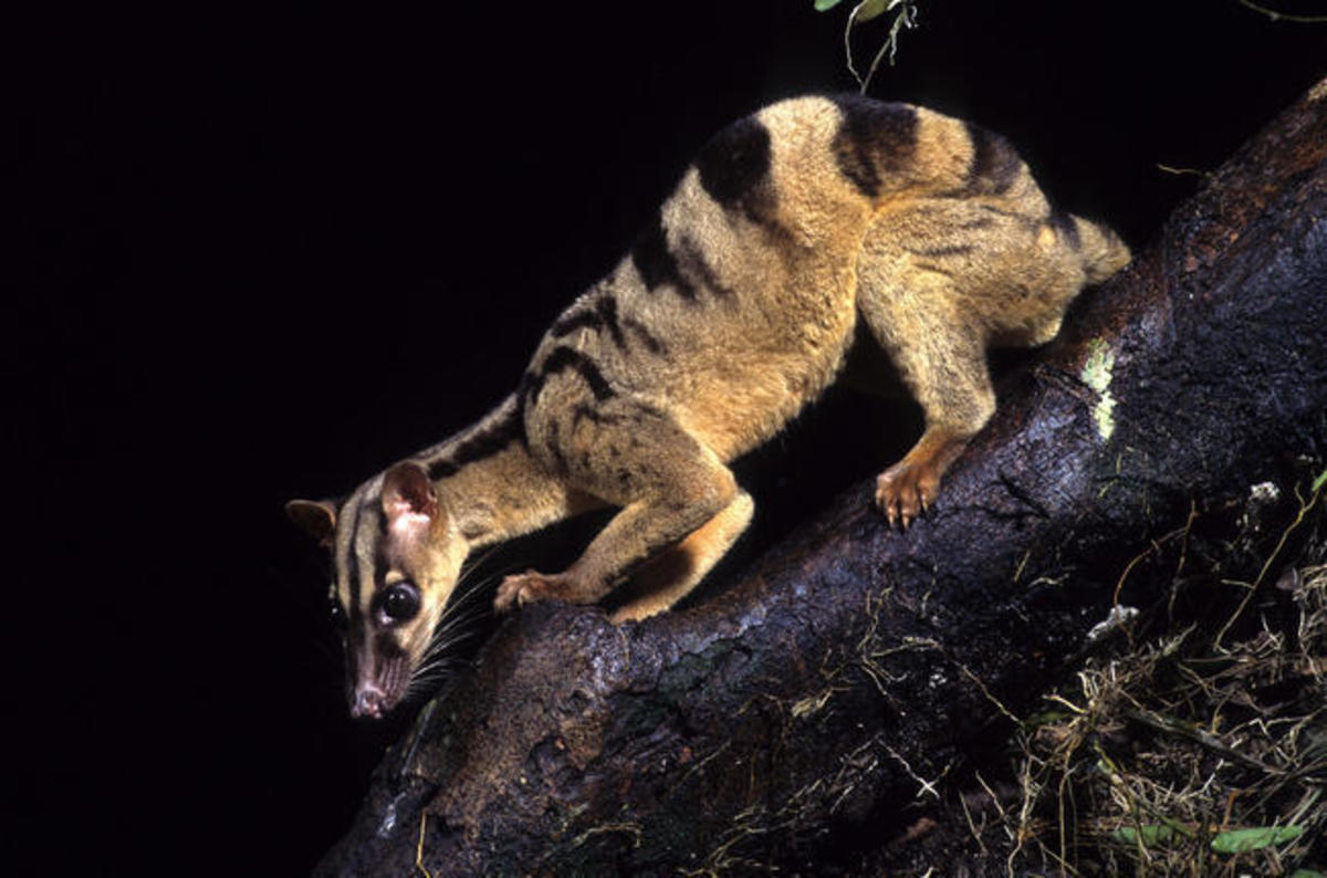 Civets are preyed upon by many larger animals, and always have to be on guard.