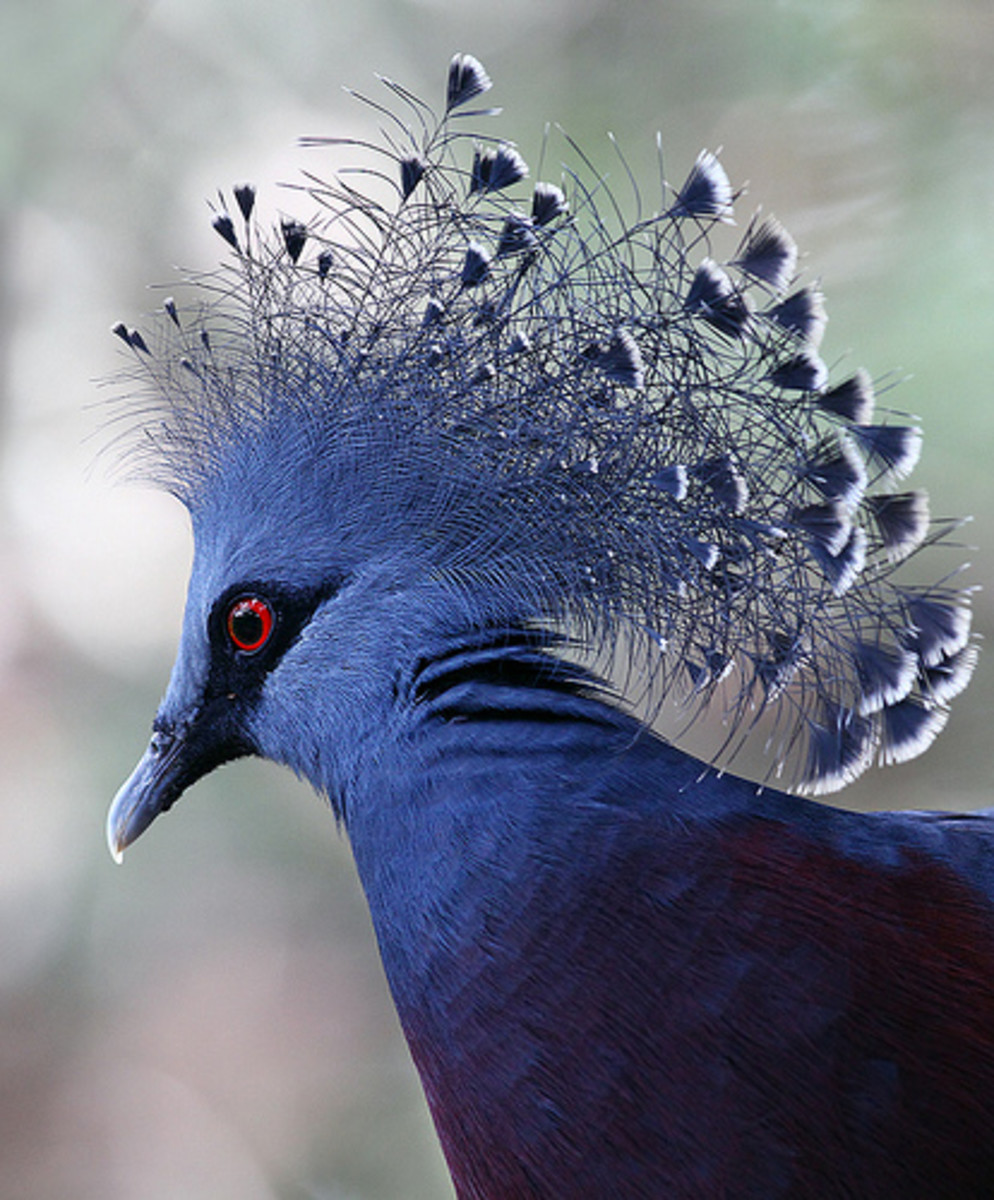 Crested pigeons have been kept domestically since the 1800s, but do not propagate well.