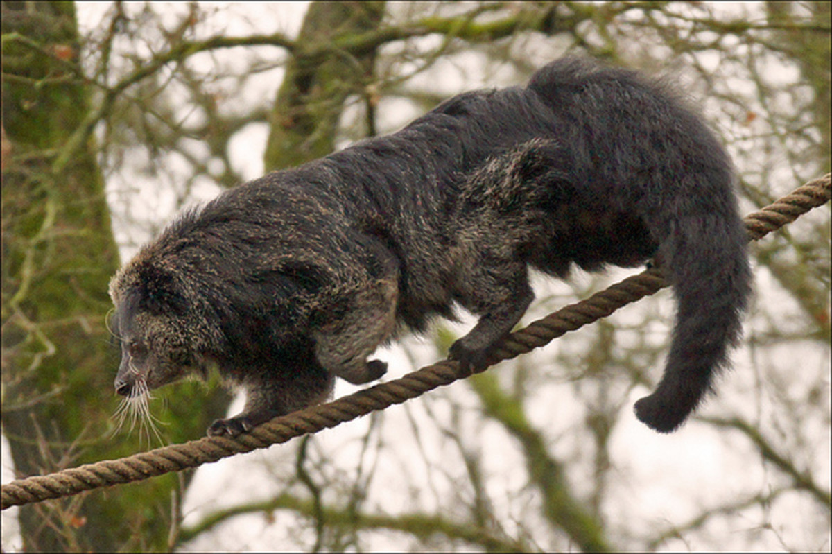 A binturong can balance extraordinarily with the help of his heavy tail.