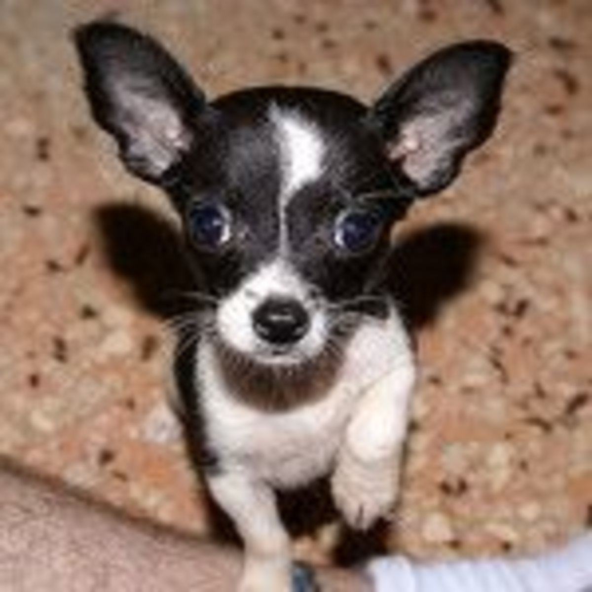 Chihuahua puppy - EARS by NeitherFanboy [CC BY-SA 2.0] on Flickr